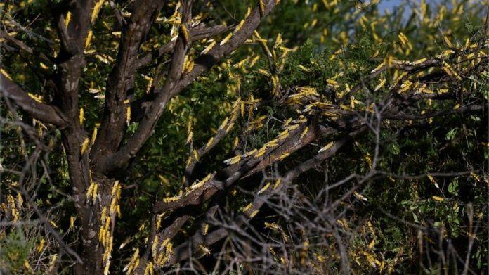 Locusts on trees in Kenya, January 2020