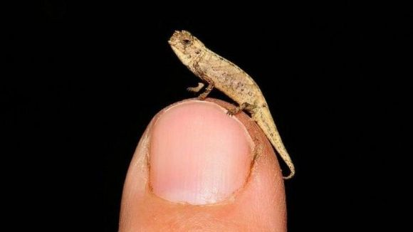 The tiny Brookesia nana perched on a fingertip