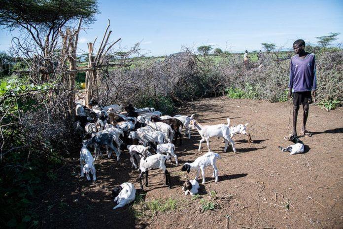 Un membre de la famille d'Erupe Lobun tient des chevreaux dans un enclos à bétail à épines d'acacia en dehors de leur mère pour les empêcher de prendre trop de lait