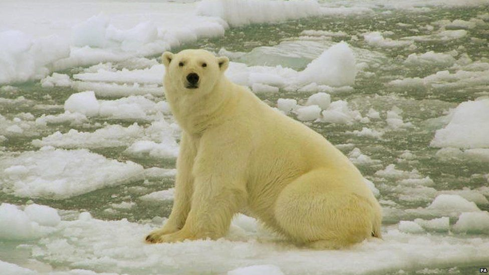 Polar bear on lumps of ice
