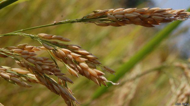 छत्तीसगढ़ में चावल