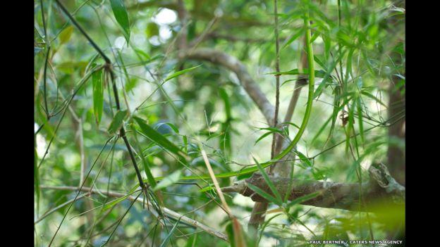 Bejuquilla verde. Foto: Paul Bertner / Caters News Agency