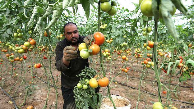 Agricultor cosechando tomates