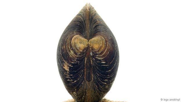 Molusco Ming