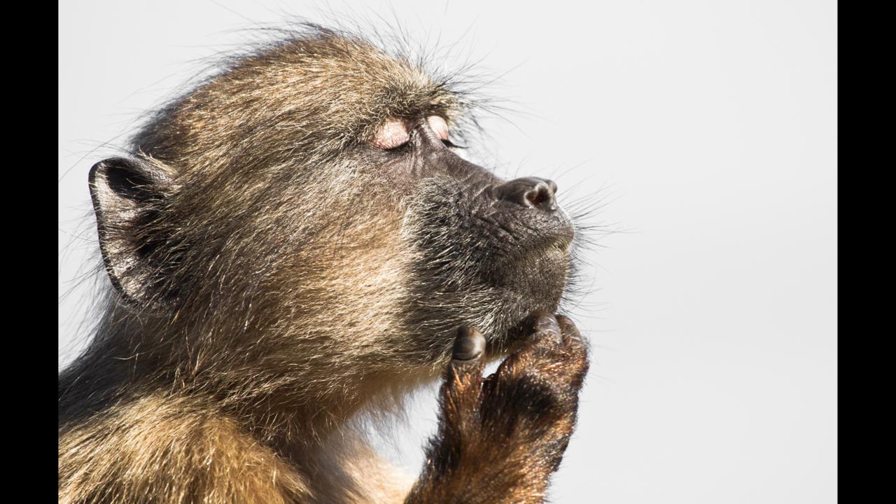 A baboon gets lost in his thoughts (Credit: Davide Gaglio)