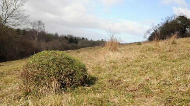 A mound made by yellow meadow ants (Lasius flavus) (Credit: Nick Upton/naturepl.com)
