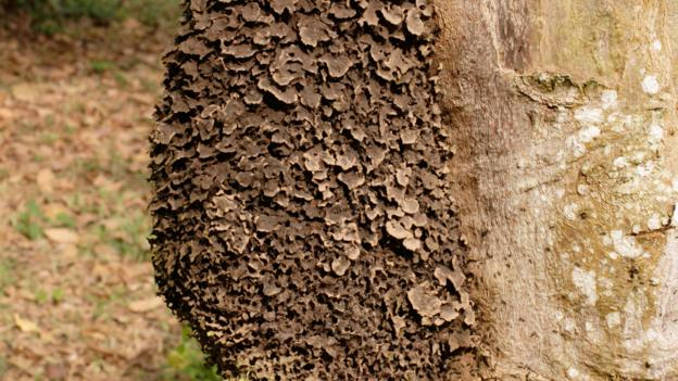 A carton nest made by Crematogaster clariventris (Credit: Premaphotos/Alamy Stock Photo)