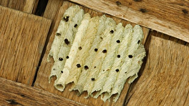 An organ-pipe mud-dauber's nest (Credit: Daniel Dempster Photography/Alamy Stock Photo)
