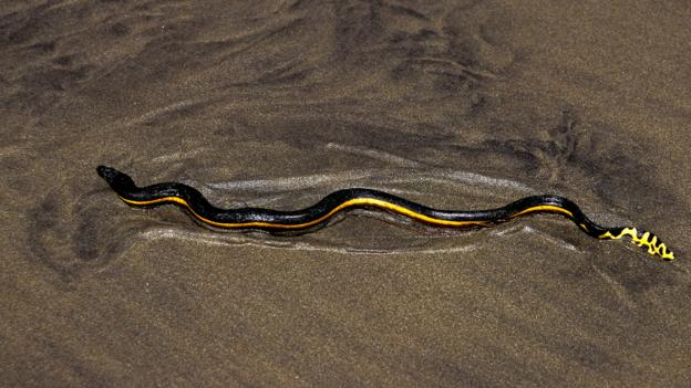 A yellow-bellied sea snake (Pelamis platura) (Credit: Mark Conlin/Alamy Stock Photo)
