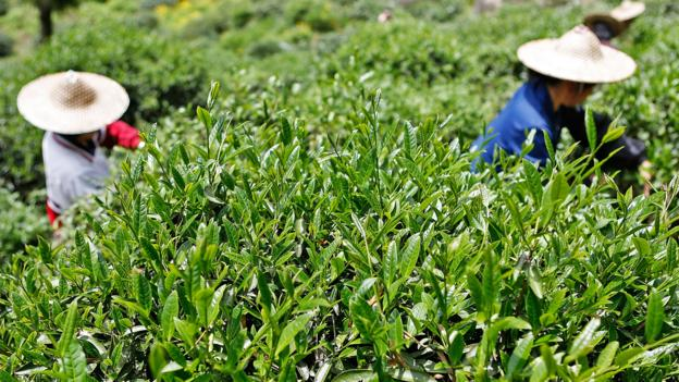 All types of tea leaves are picked across the Fujian province, but Da Hong Pao leaves are the most coveted (Credit: Credit: Kevin Zen/Getty)