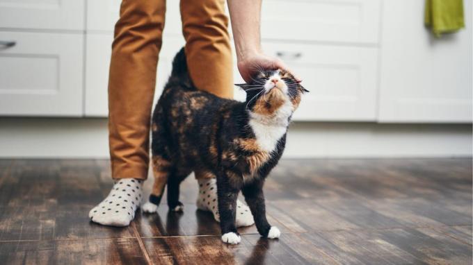 Algunas personas creen que los gatos solo son cariñosos como una forma de obtener comida (Crédito: Getty Images)