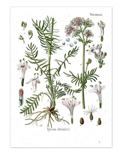 Baldrian-Valeriana_officinalis_-_Koehler–s_Medizinal-Pflanzen