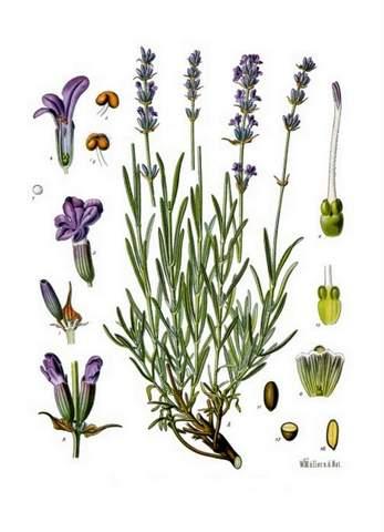 Lavendel Heilpflanze Naturmedizin