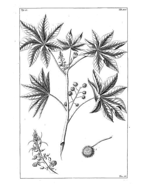 Historische zeichnung Ricinus communis L. [as Ricinus ruber] Rumphius, G.E., Herbarium amboinense, vol. 4 p. 97, t. 41 (1743)