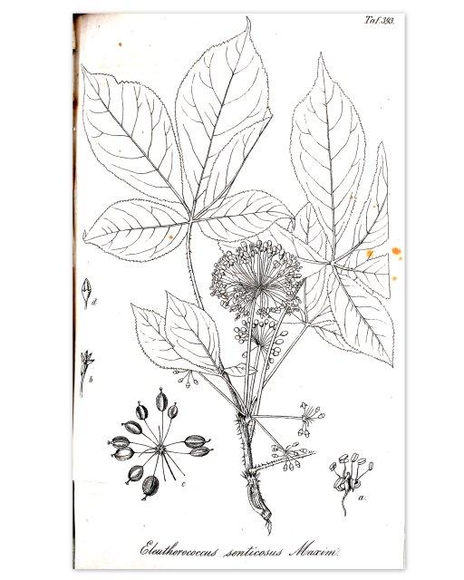Taigawurzel, hist Zeichnung