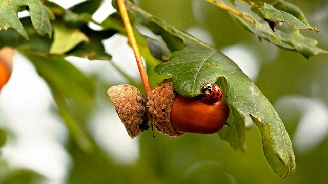 Eiche, Stiel (Quercus robur L.)