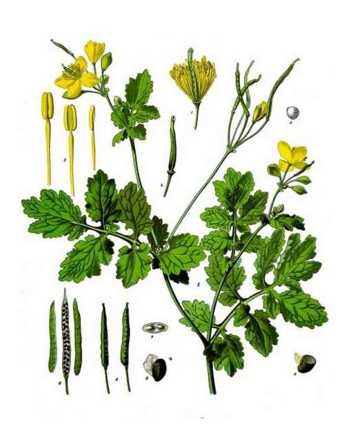 historische Abbildung Chelidonium_majus_-_Köhlers_Medizinal-Pflanzen-033