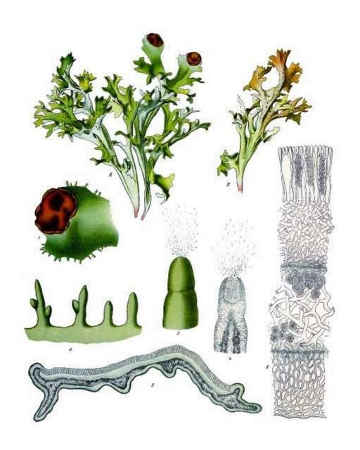 hist. Abbildung Island Moos aus Franz Eugen Köhler, Köhler's Medizinal-Pflanzen