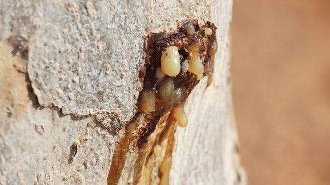 Myrrhe (Commiphora molmol Engl. / C. myrrha Nees.)