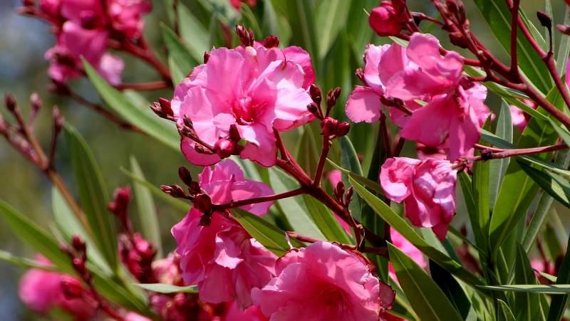 Oleander Blüten