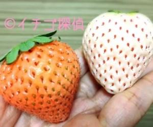 【あその小雪】【天使の実】【雪うさぎ】など白いちご&ピンクイチゴまとめ!なんと10種以上も!?