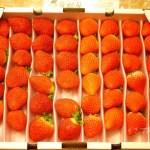 イチゴ探偵|愛媛県のオリジナル品種【あまおとめ】と深紅の【レッドパール】を食べ比べ!