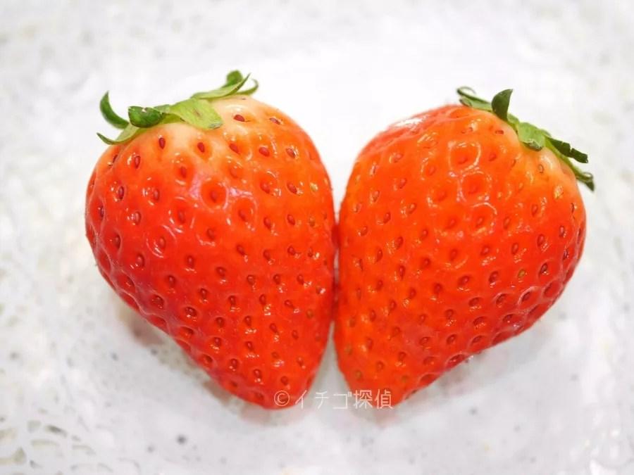 イチゴ探偵 愛媛県のオリジナル品種【あまおとめ】と深紅の【レッドパール】を食べ比べ!