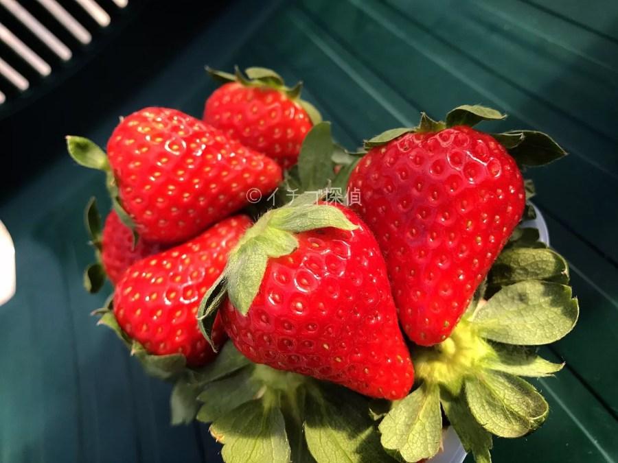 イチゴ探偵 【くろいちご】や新品種【チーバベリー】を食べ放題!相葉苺園で珍しい種類のいちご狩りを満喫!