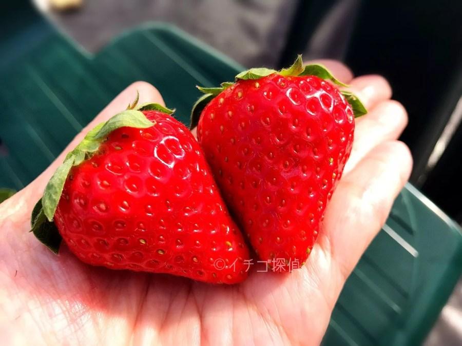 イチゴ探偵|【くろいちご】や新品種【チーバベリー】を食べ放題!相葉苺園で珍しい種類のいちご狩りを満喫!