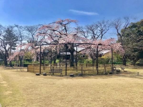 原木山妙行寺のしだれ桜正面