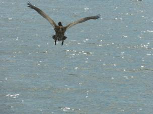 fliegender Pelikan