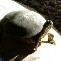 Schildkröte beim Sonnen
