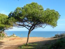 Algarve Falesia Klippen Pinie