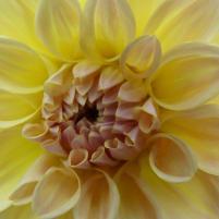 Fulda Dahliengarten Blume