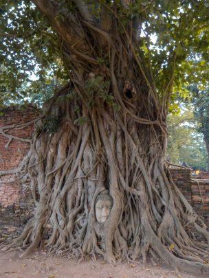 Thailand Ayutthaya Tempelruinen Tempel Ruine Wat Maha That Buddhakopf