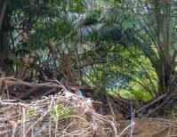 Thailand Khao Sok Nationalpark Dschungel Kajaktour Kajak Paddeln Fluss Eisvogel Kingsfisher