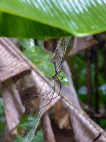 Thailand Khao Sok Nationalpark Dschungel Anurak Community Lodge Seidenspinne Spinne