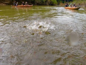 Thailand Khao Sok Nationalpark Dschungel Kajaktour Kajak Paddeln Fluss Karpfen