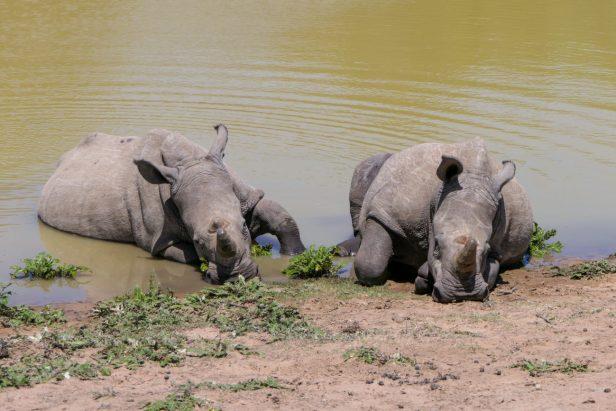 Südafrika South Africa Sibuya Game Reserve Safari Nashörner Nashorn Wasserloch