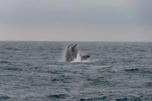 Südafrika South Africa Hermanus Walker Bay Whale Watching Walbeobachtung Wale Wal Glattwal Southern Right Whale Southern Right Charters Breaching