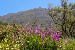 Südafrika South Africa Kapstadt Cape Town Kirstenbosch Botanical Garden Botanischer Garten Blumen