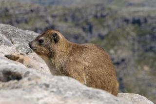 Südafrika Kapstadt Cape Town Tafelberg Table Mountain Rock Dassie Klippschliefer
