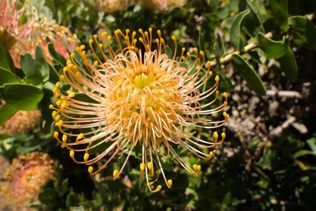 Südafrika South Africa Kapstadt Cape Town Kirstenbosch Botanical Garden Botanischer Garten Blume Protea Nationalblume