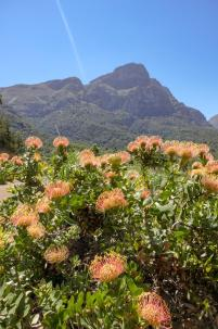 Südafrika South Africa Kapstadt Cape Town Kirstenbosch Botanical Garden Botanischer Garten Blumen Protea Tafelberg
