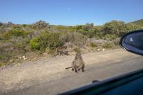 Südafrika South Africa Kap Halbinsel False Bay Cape Point Nationalpark Affen Paviane Baboons