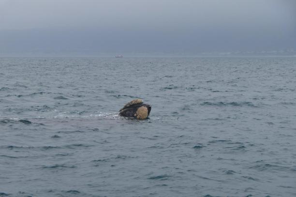 Südafrika South Africa Hermanus Kap Walker Bay Whale Watching Walbeobachtung Southern Right Charters Whale Wal südlicher Glattwal Südkaper Kopf Maul Spying