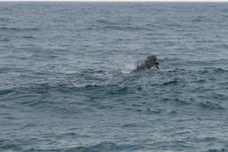 Südafrika South Africa Hermanus Kap Walker Bay Whale Watching Walbeobachtung Southern Right Charters Whale Wal südlicher Glattwal Südkaper Kopf auftauchen