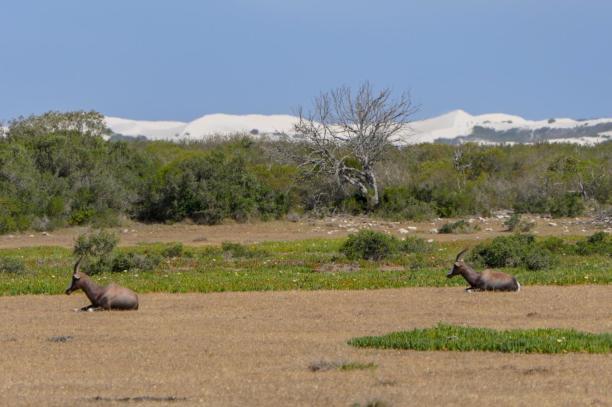 Südafrika South Africa Kap De Hoop Nature Reserve Naturreservat Landschaft Bontebok Buntbock Antilope Sanddüne
