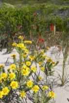 Südafrika South Africa Kap De Hoop Nature Reserve Naturreservat Fynbos Blumen