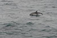 Südafrika South Africa Hermanus Kap Walker Bay Whale Watching Walbeobachtung Southern Right Charters Dusky Dolphin Schwarzdelphin Delphin Delfin springend